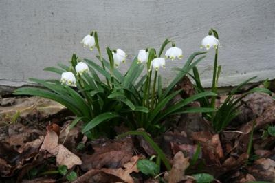 Need on märtsikellukesed – Väike-Lossi tänavas, Haapsalus. Fotod: Riina Kindlam - pics/2008/03/19239_3_t.jpg