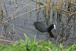 A busybody of a male coot (isane lauk) searches for food for its brood on Skt. J¸rgens S¸ (St. Jörgen's Lake), one in a row of three artificial lakes in central Copenhagen which used to serve as reservoirs and moats for the city. The total distance around S¸erne (the Lakes) is 6 km – the perfect place to run and bird-watch. Photo: Riina Kindlam - pics/2008/05/19792_3_t.jpg