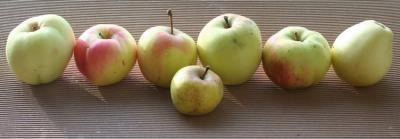 """From the left are: Antonovka, Põltsamaa taliõun (winter apple), Kuldrenett, the hands-down favourite Estonian eating or dessert apple, Koit, Tiina and Treboux (Trebuu), also known as Pärnu tüviõun and most commonly Lambanina. It is placed bottom-up in the photo, so you can see why its most common name translates as """"Lamb's nose"""". In the front is a sibulõun (onion apple) also known as jõuluõun, Christmas apple, the perfect size for hanging on the tree. Local apples are predominantly yellow, with some having a light blush on their sun-kissed cheek. Photo: Riina Kindlam - pics/2008/10/21422_1_t.jpg"""