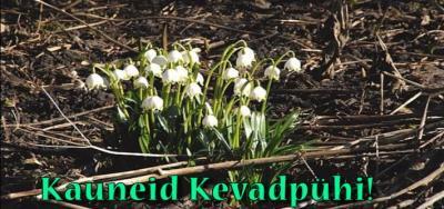 Esimesed lumikellukesed Saaremaal. - pics/2009/04/23320_1_t.jpg