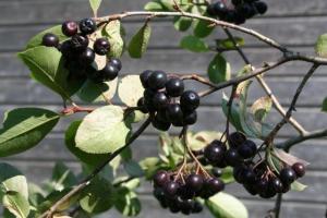 """Aroonia ei olegi eesti taluõuel kohanenud tumedasilmne külaline idast, vaid hoopis Põhja-Ameerikast pärit chokeberry. Uue maailma taim kasvatati Euroopas """"kultuurseks"""" ja peagi sai mahlategijate üheks lemmiklapseks. - pics/2009/09/25247_1_t.jpg"""