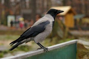 Hallvares. Hooded Crow. - pics/2011/04/32232_4_t.jpg