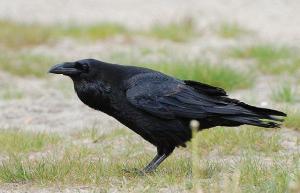 Ronk. Raven. Photos: Wikipedia / Vikipeedia. - pics/2011/04/32232_6_t.jpg