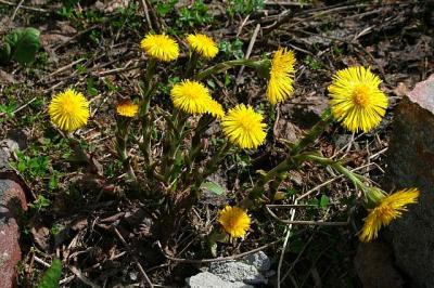 """Kui kaugelt näed, et teeperv varakevadel juba kolletab, siis mõtled, mis ta muud olla saab kui va võilill. Kuid antud lill on võidumees ehk võilillest veelgi kärmem kevadel tärkama ja seda nii Põhja-Ameerikas kui Eestis. Mine lähemale, siis näed, et taimel veel lehti polegi, ainult tohutult kõrgele küündivad õievarred, mis meenutavad kaktuseliste või mägisibulate õisi. Internet teatab, et seda lille """"tunneb ilmselt iga laps"""". Lapsemeelsed õpivad takkajärgi. Foto: Riina Kindlam  - pics/2011/05/32270_1_t.jpg"""