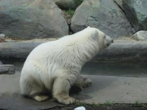 Toronto Zoo elaniku jääkarubeebi nimeks sai Hudson, mis sobiks ka kenasti poisslapsenimeks. Loomaaial on jääkaru, eestlastel on jõekaru - Jõekääru suvekodu maskott. Foto: Eda Oja - pics/2012/06/36677_001_t.jpg