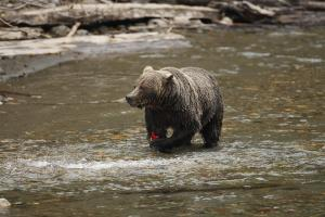 A grizzly bear holding a salmon with its paw near Grizzly Bear Ranch. Photo by John E. Marriott. - pics/2013/09/40381_001_t.jpg